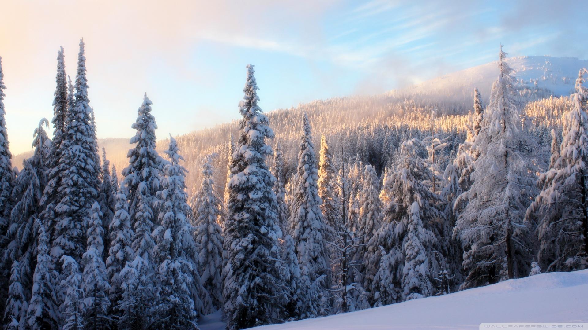 Snowy fir branch wallpaper Wallpaper Wide HD 1920x1080