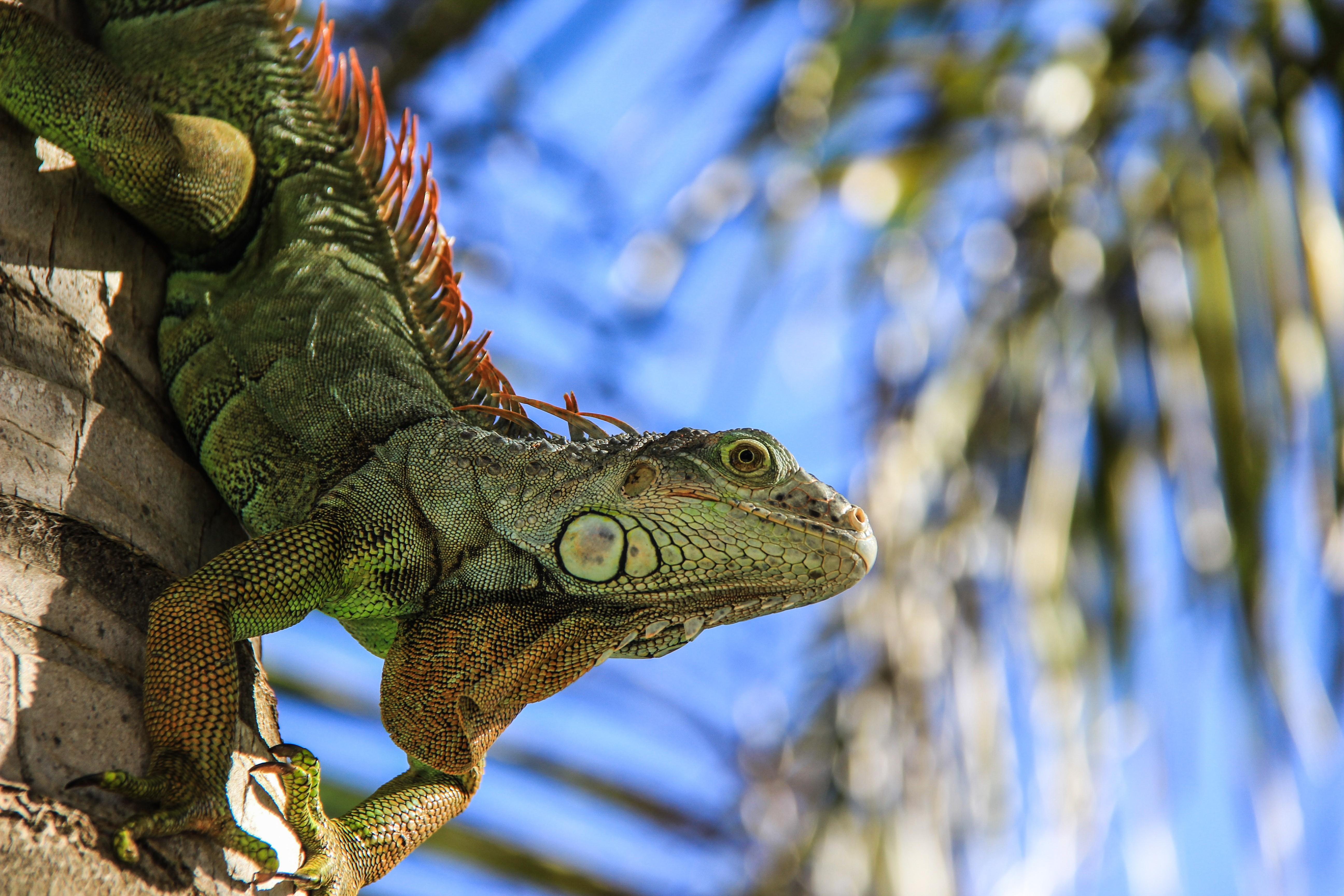 Iguana Wallpaper 21   5184 X 3456 stmednet 5184x3456