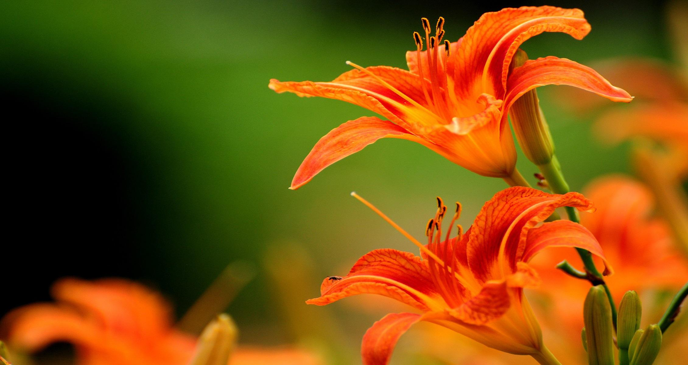 Tiger Lily Flower Wallpaper Full HD Pink Hd Water White 2260x1200