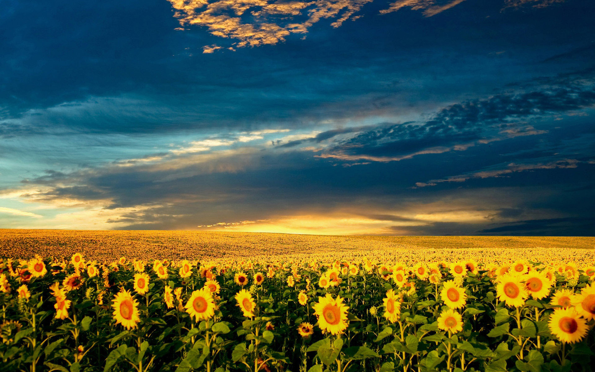 Sunflower Field   1920x1200   1610 1920x1200
