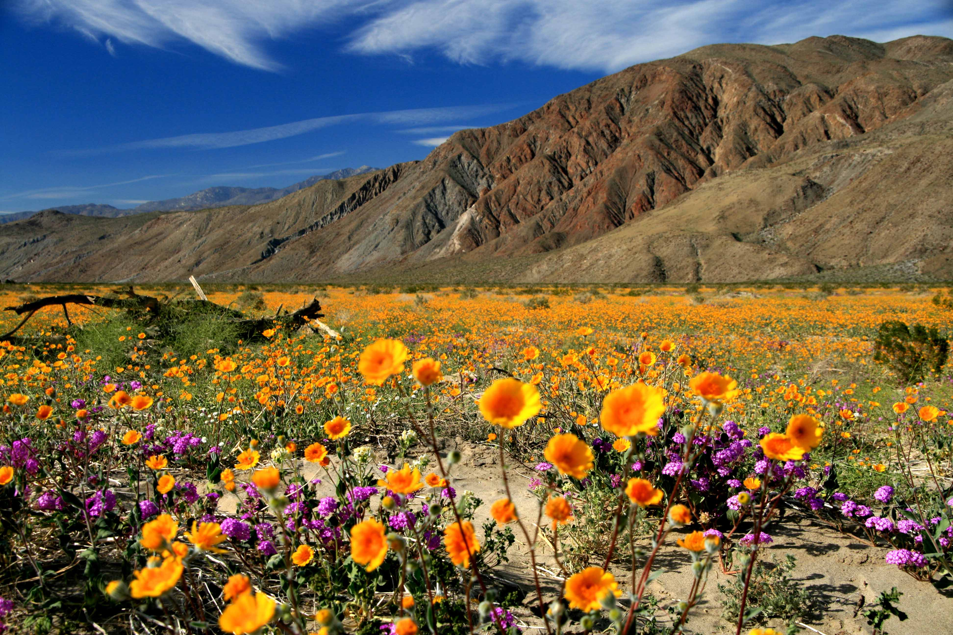 Wild about Wildflowers in San Diegos East County 3888x2592