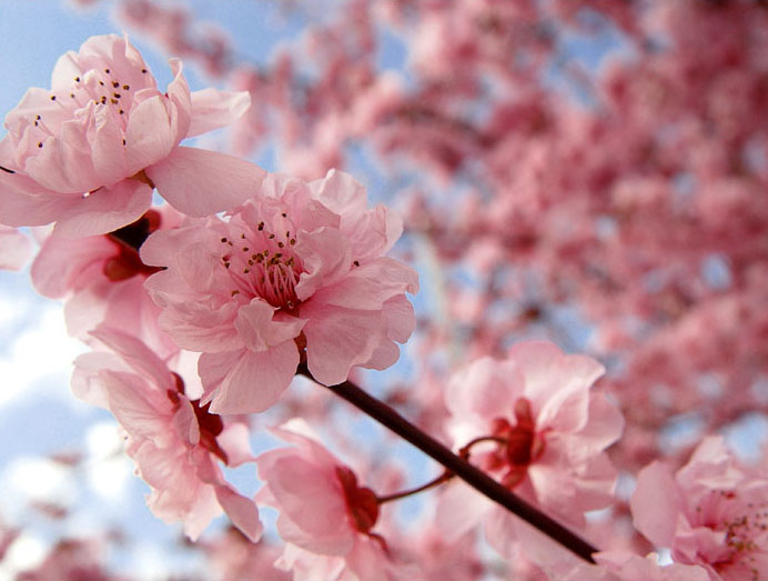 cherry blossom tree wallpaper  wallpapersafari, Natural flower