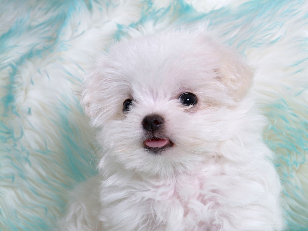 Cute White Puppies In Photos Funny And Cute Animals 1024x768