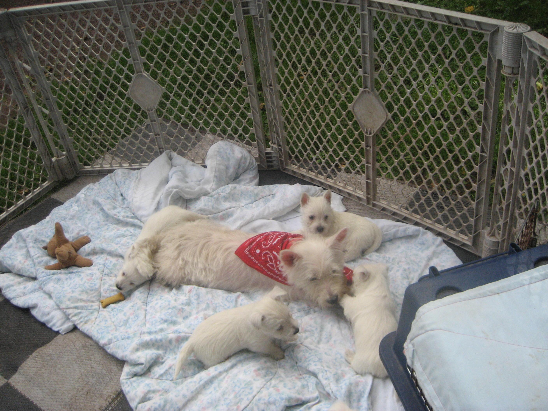 Westie Puppies Wallpaper Images Crazy Gallery 2816x2112