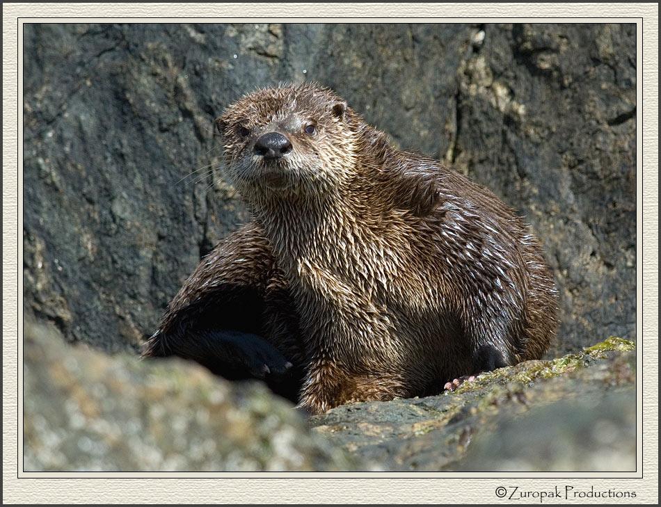 10 River Otter Pups Nursingjpg Pictures 950x729