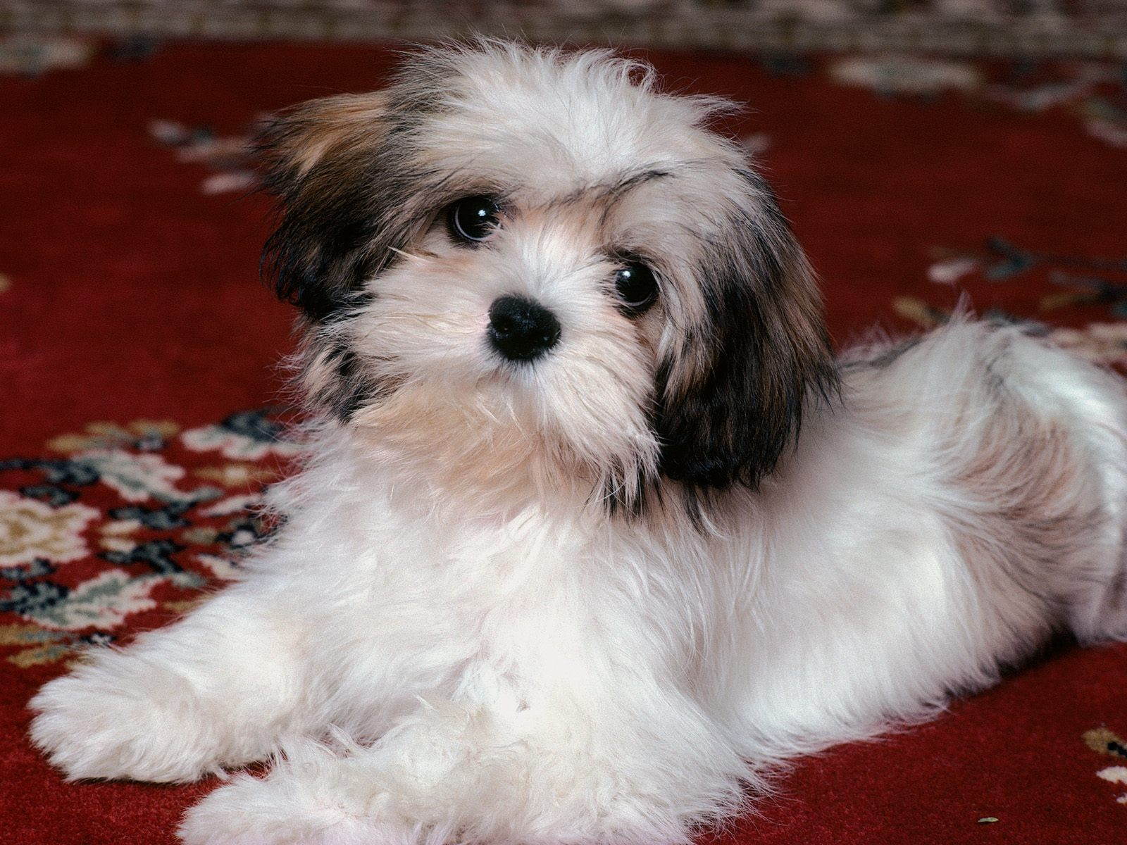 HQ Lhasa Apso Puppy Wallpaper   HQ Wallpapers 1600x1200