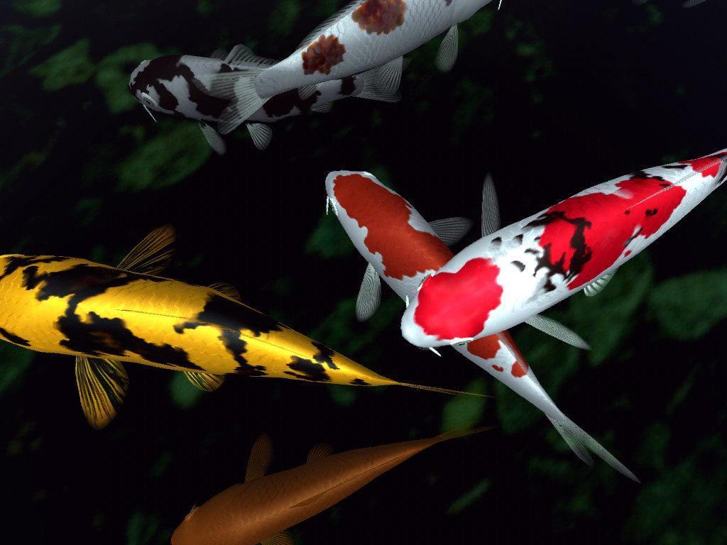Free download Fancy Koi Fish Live ...