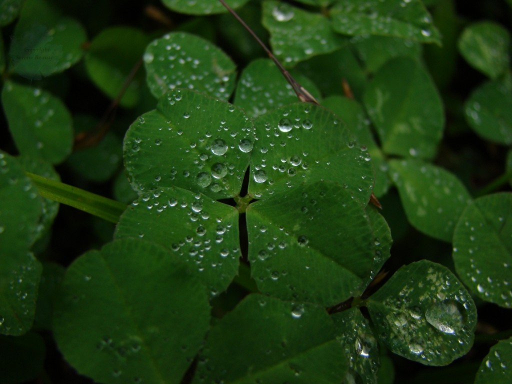 Four Leaf Clover Background 1024x768