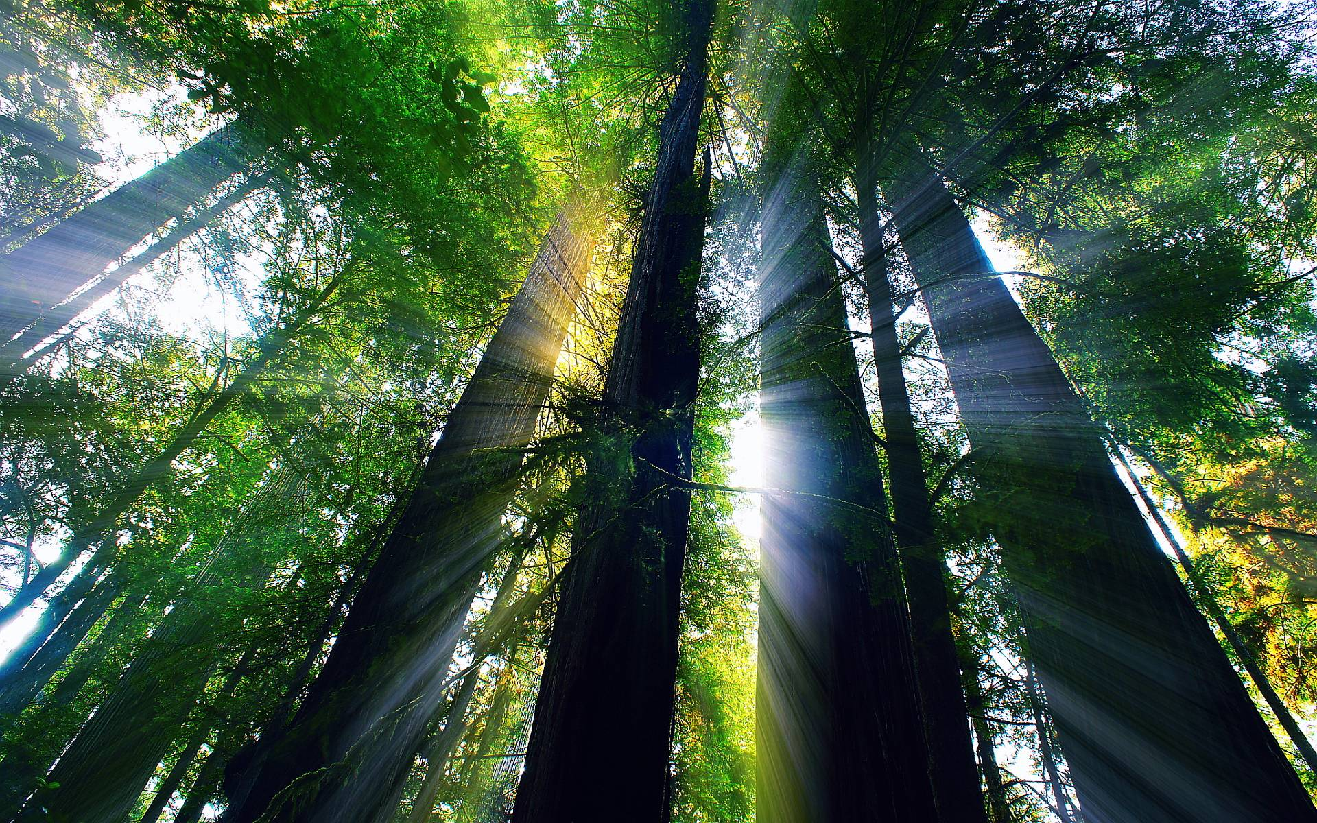 Giant Redwood Forest Wallpapers   Top Giant Redwood Forest 1920x1200