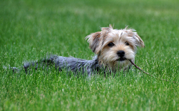 Download Dogs in Summer Windows 7 theme Dog in Grass 580x362