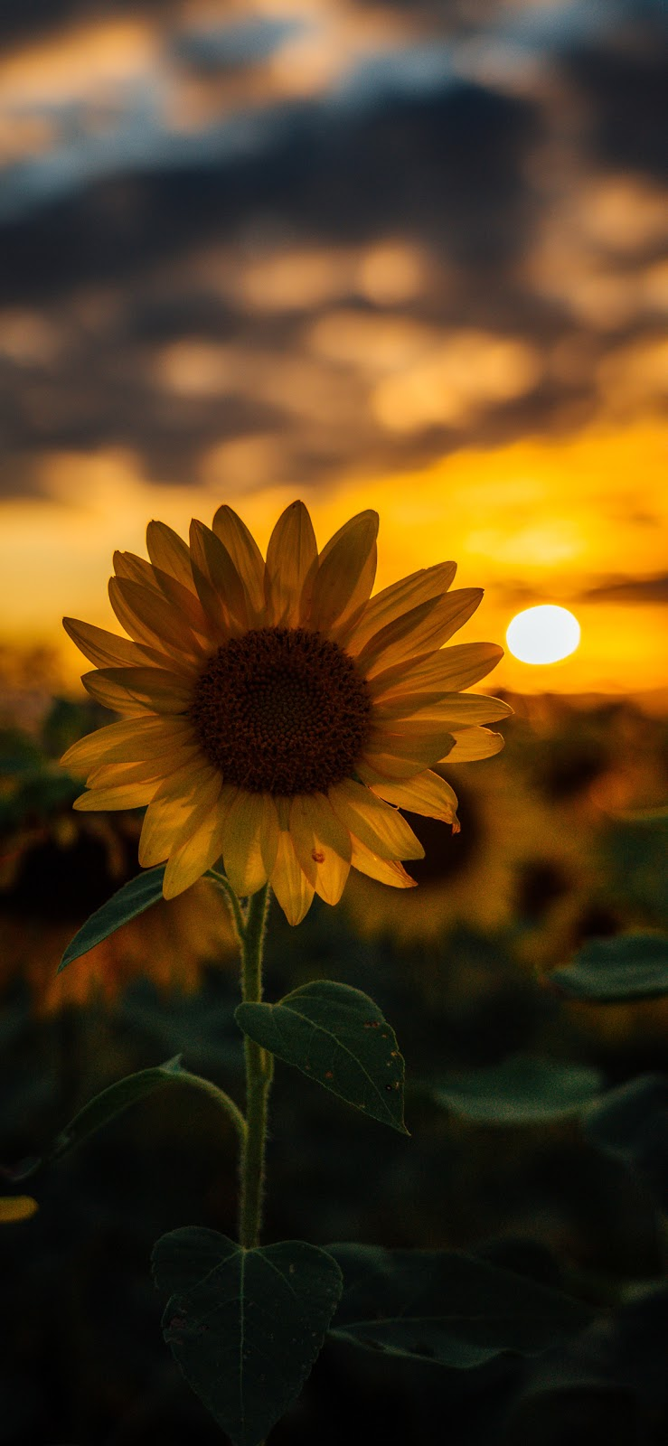 Sunflower Wallpaper Iphone X   Sunflower Background For Iphone 739x1600