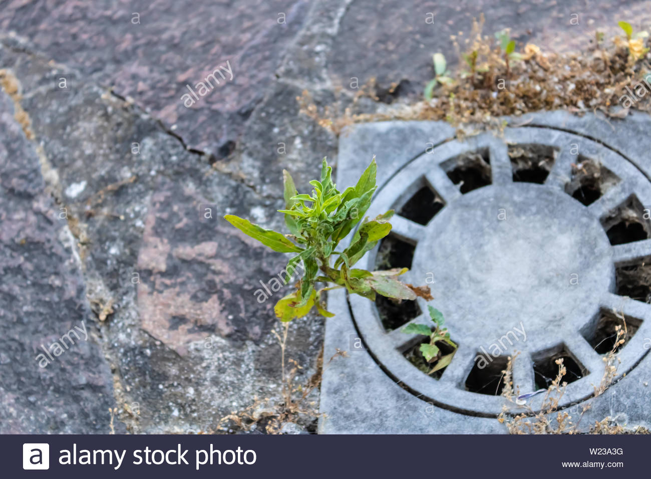 Plant growing from street storm drain with the paving stones on 1300x956