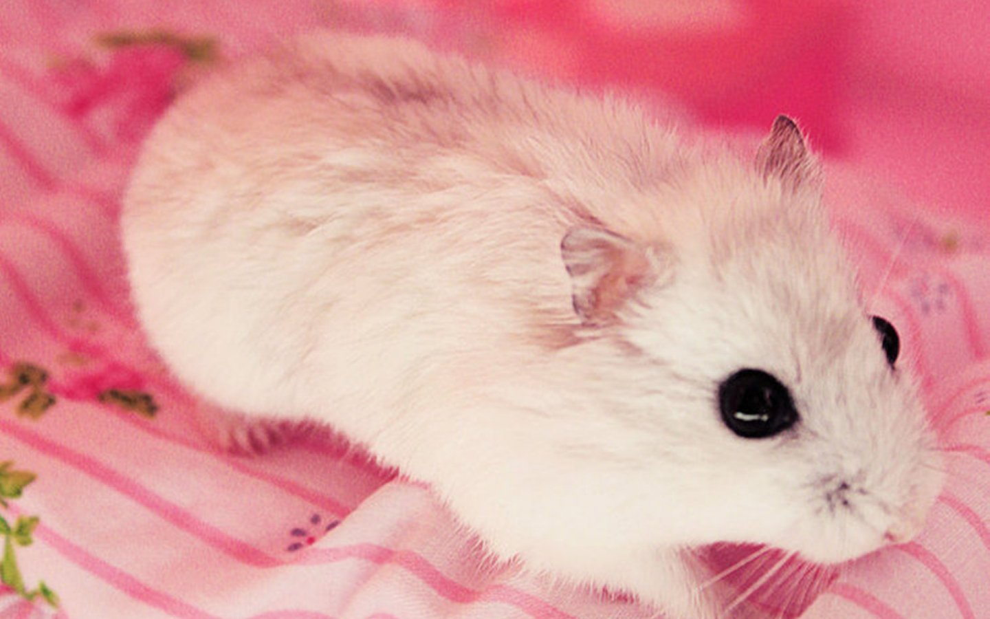 Cute Hamster 1440x900 Wallpapers 1440x900 Wallpapers 1440x900
