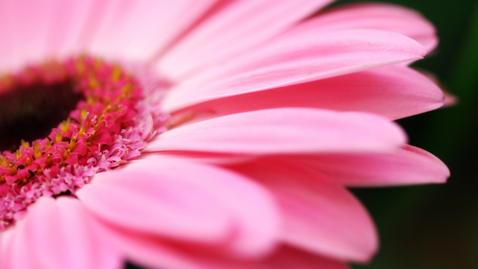 Big Pink Daisy Wallpapers HD Wallpapers 1920x1080