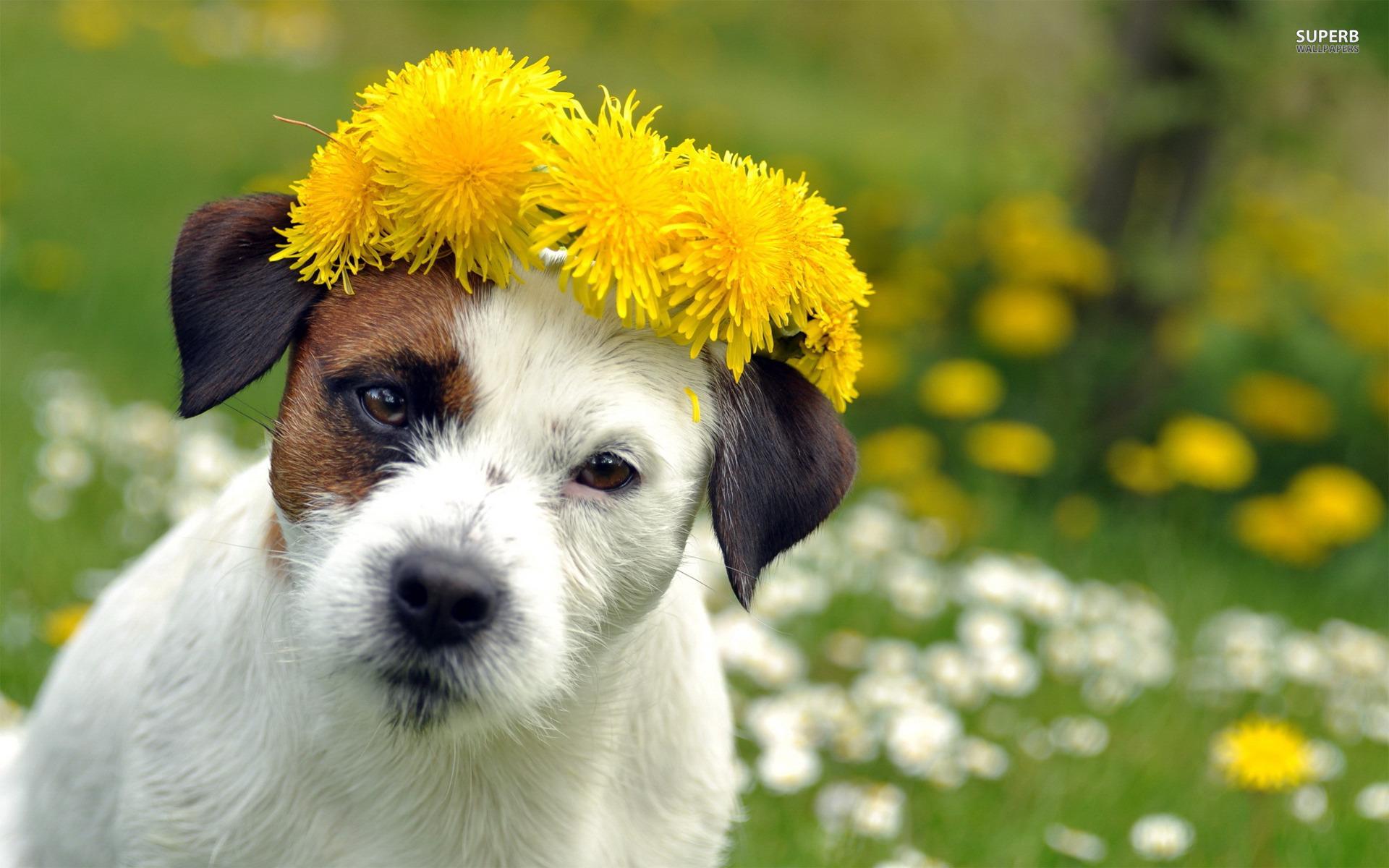 Dog Spring wallpaper   991282 1920x1200