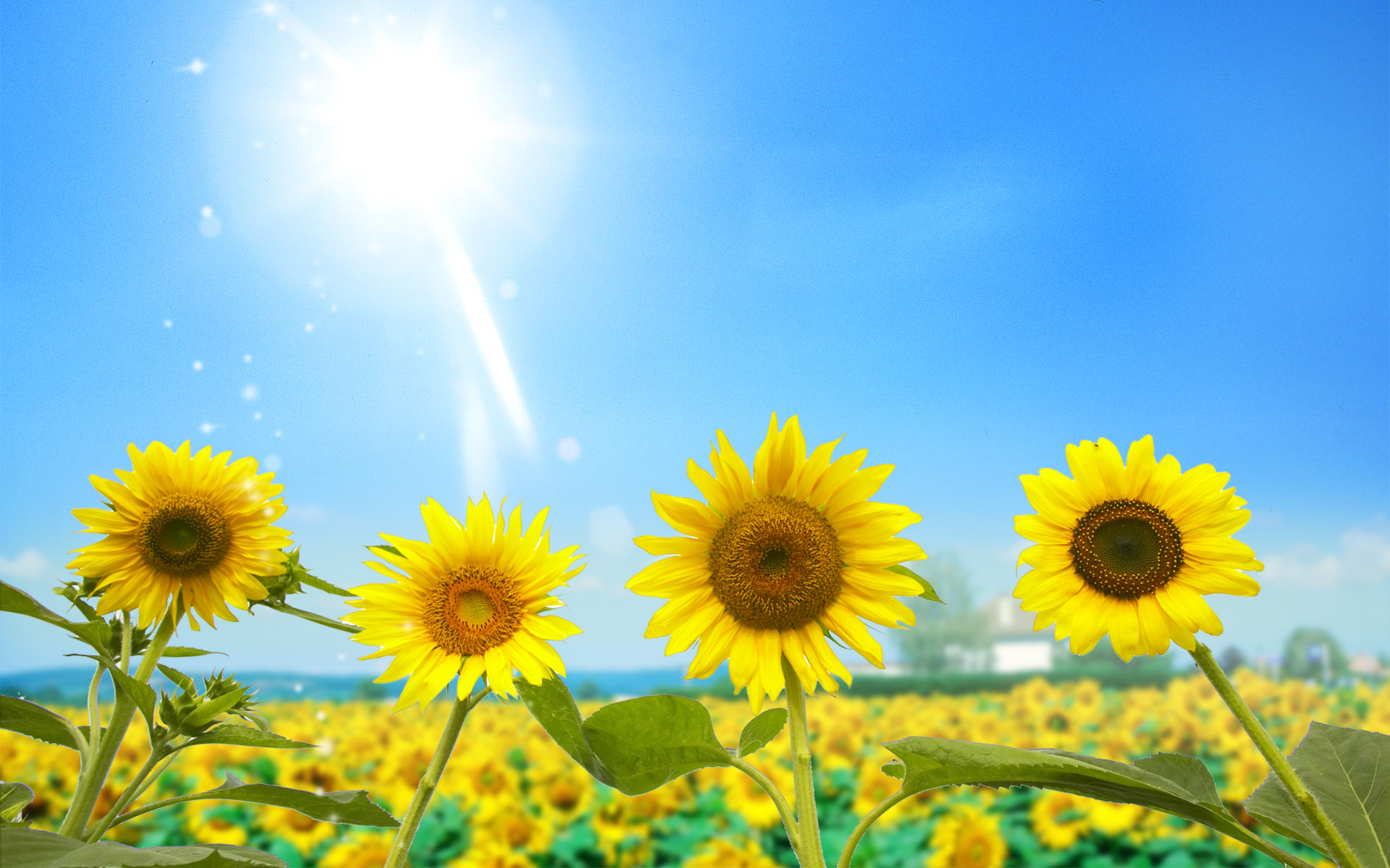 Amazing Sunflowers Wallpapers HD Wallpapers 1920x1200