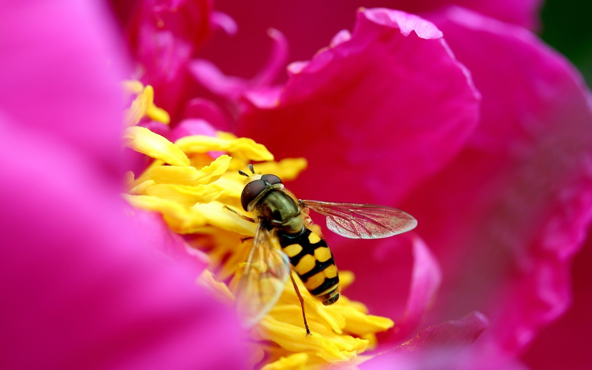 Bee on a pink flower wallpaper 9171 1920x1200