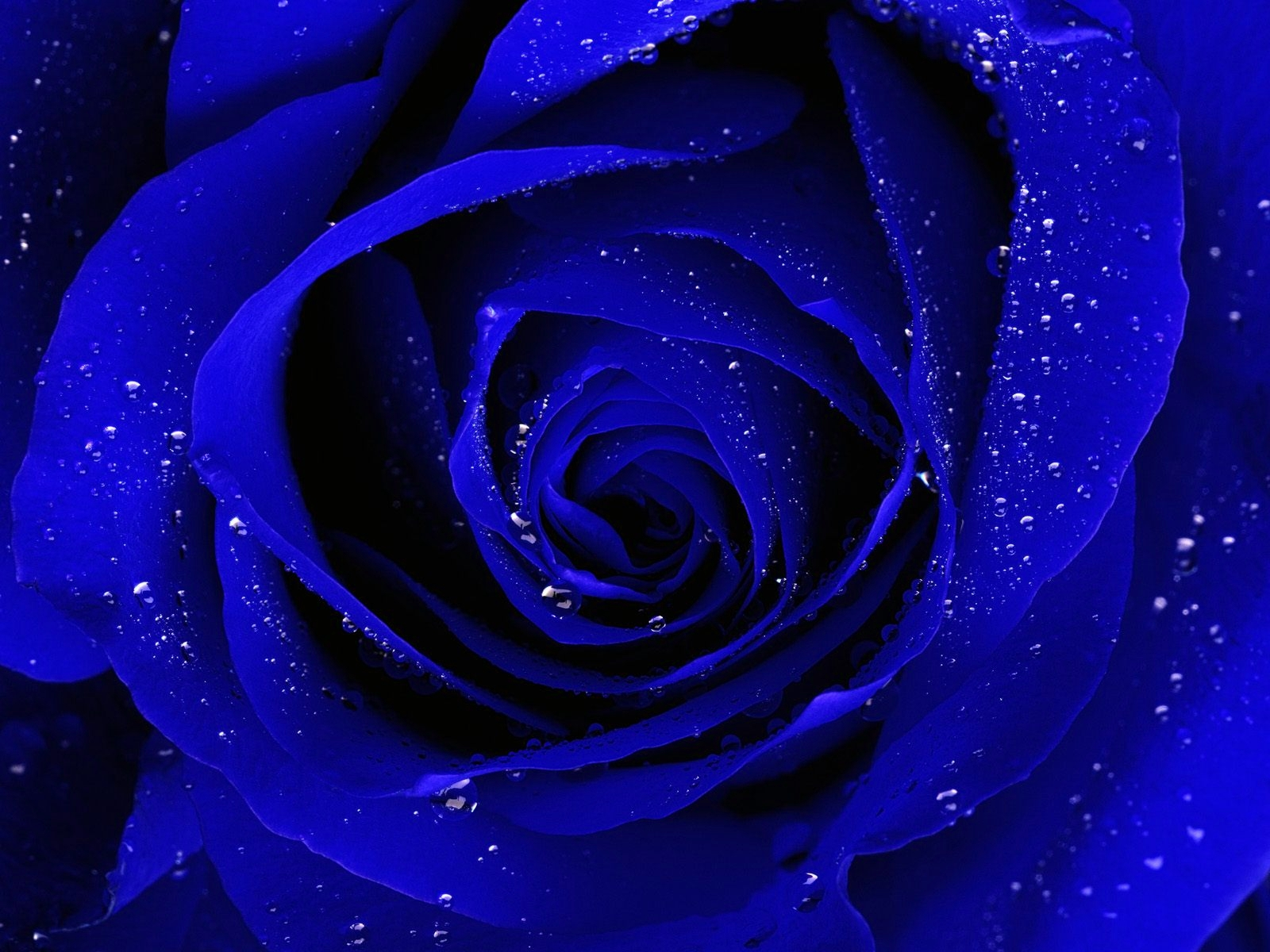 Blue Rose Desktop Wallpaper Blue Rose Images Cool 1600x1200