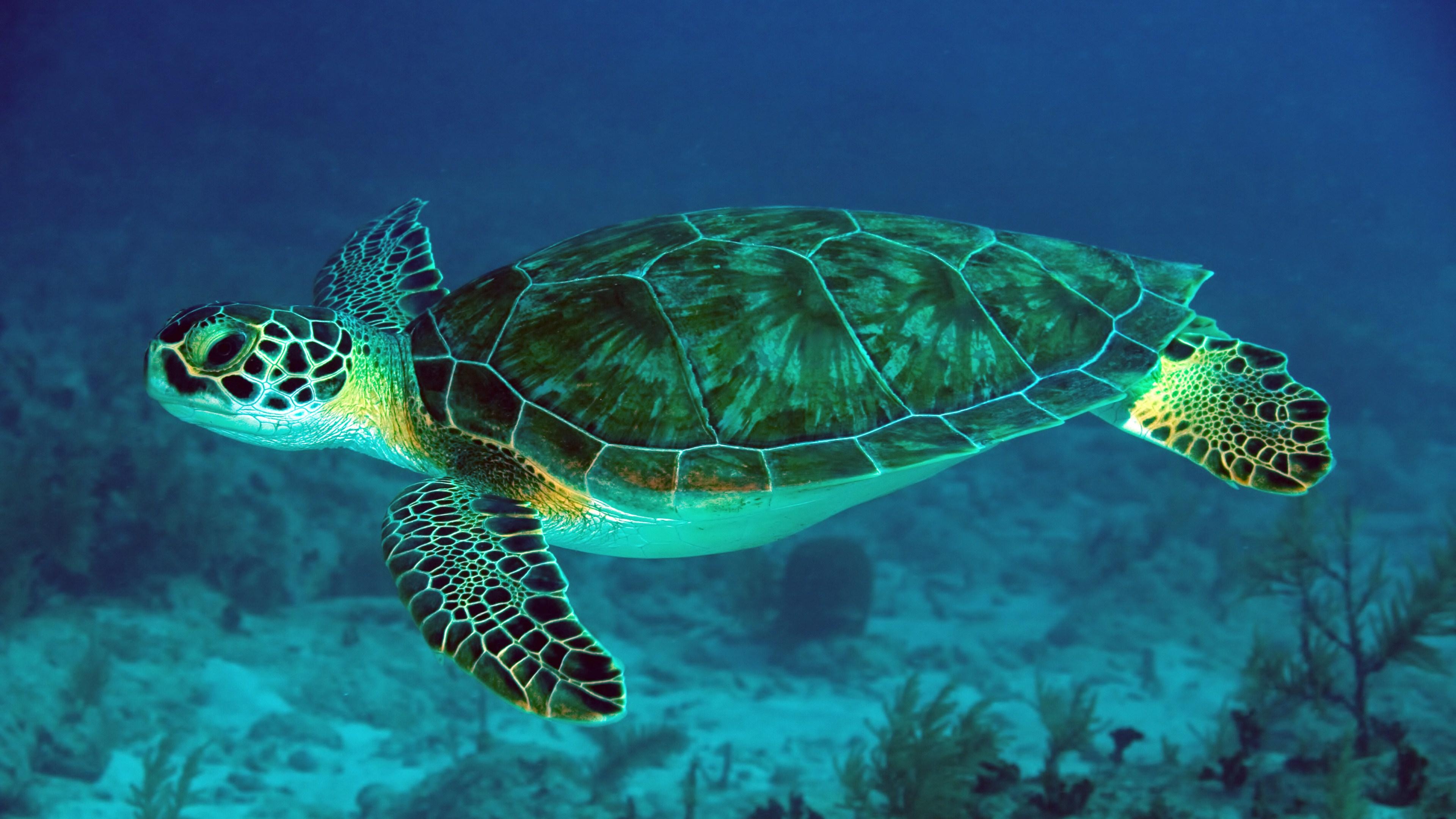 48 Sea Turtle Wallpaper Desktop On Wallpapersafari
