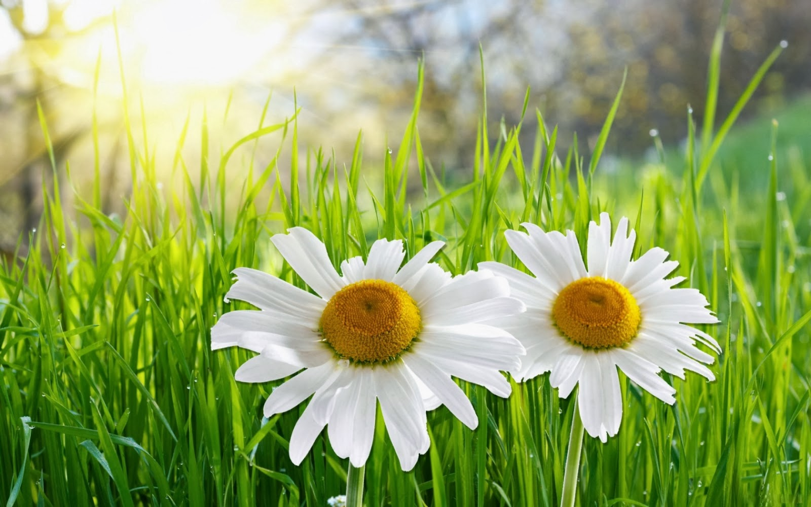 wallpaper and make this Daisy flower wallpaper for your desktop 1600x1000