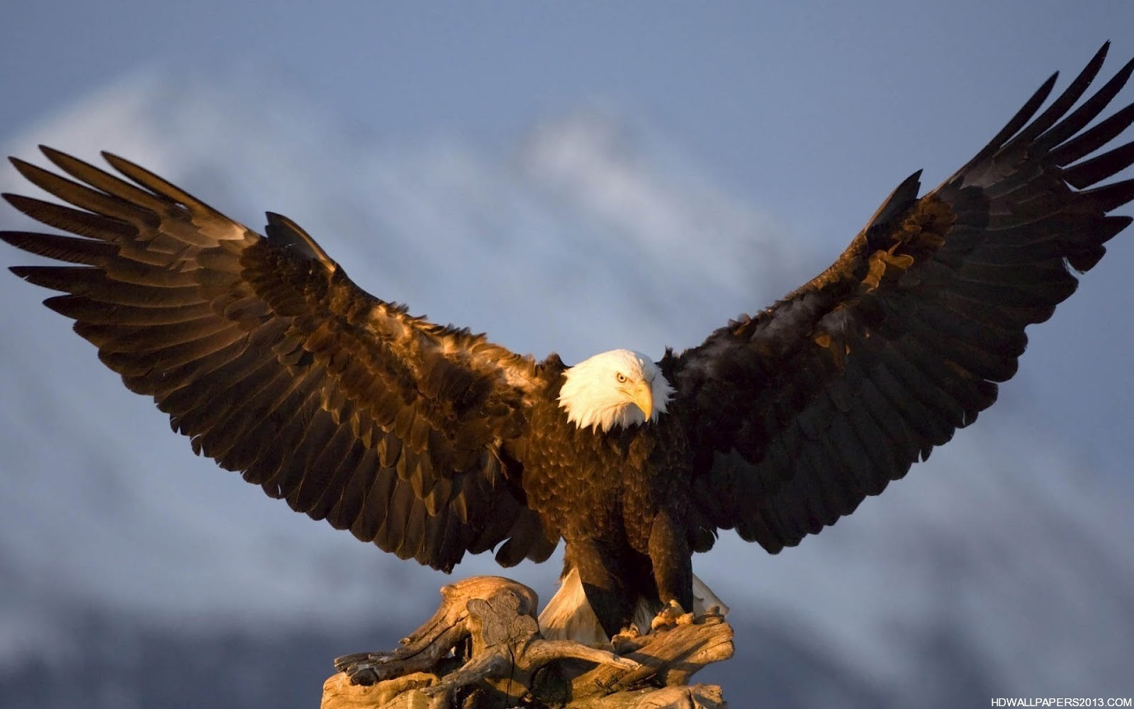 Eagle Wallpapers High Definition Wallpapers High 1600x1000