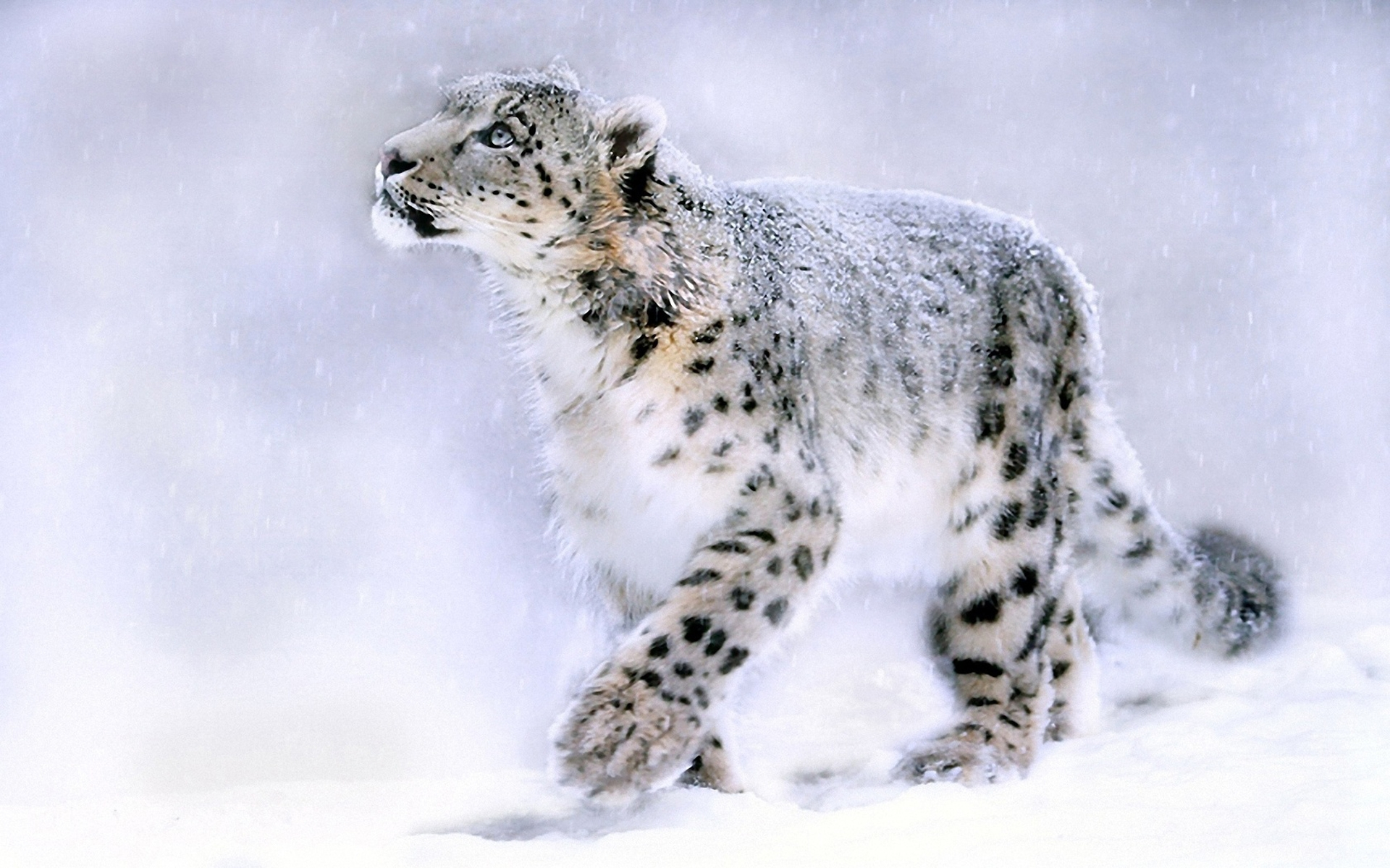 Snow Leopard Wallpapers HD for htc first   New HTC Phone 1920x1200