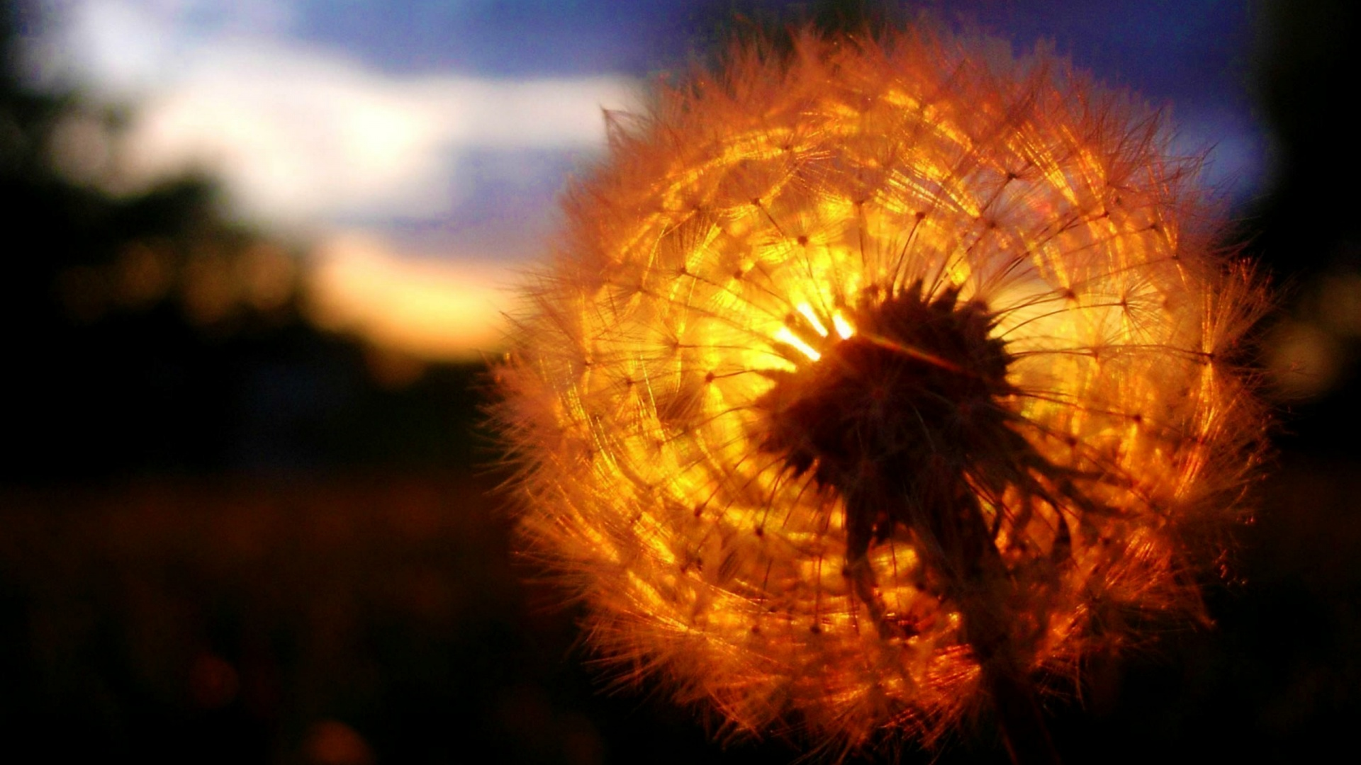 Sunset Behind a Dandelion Wallpaper Desktop Wallpaper with 1920x1080 1920x1080