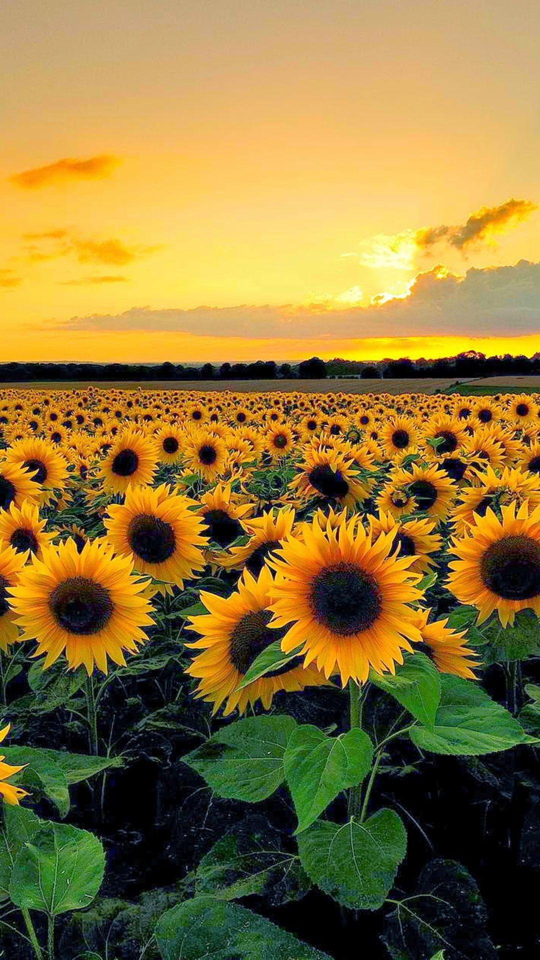 Sunset View From Sunflower Field Wallpaper downloads Sunflower 1080x1920