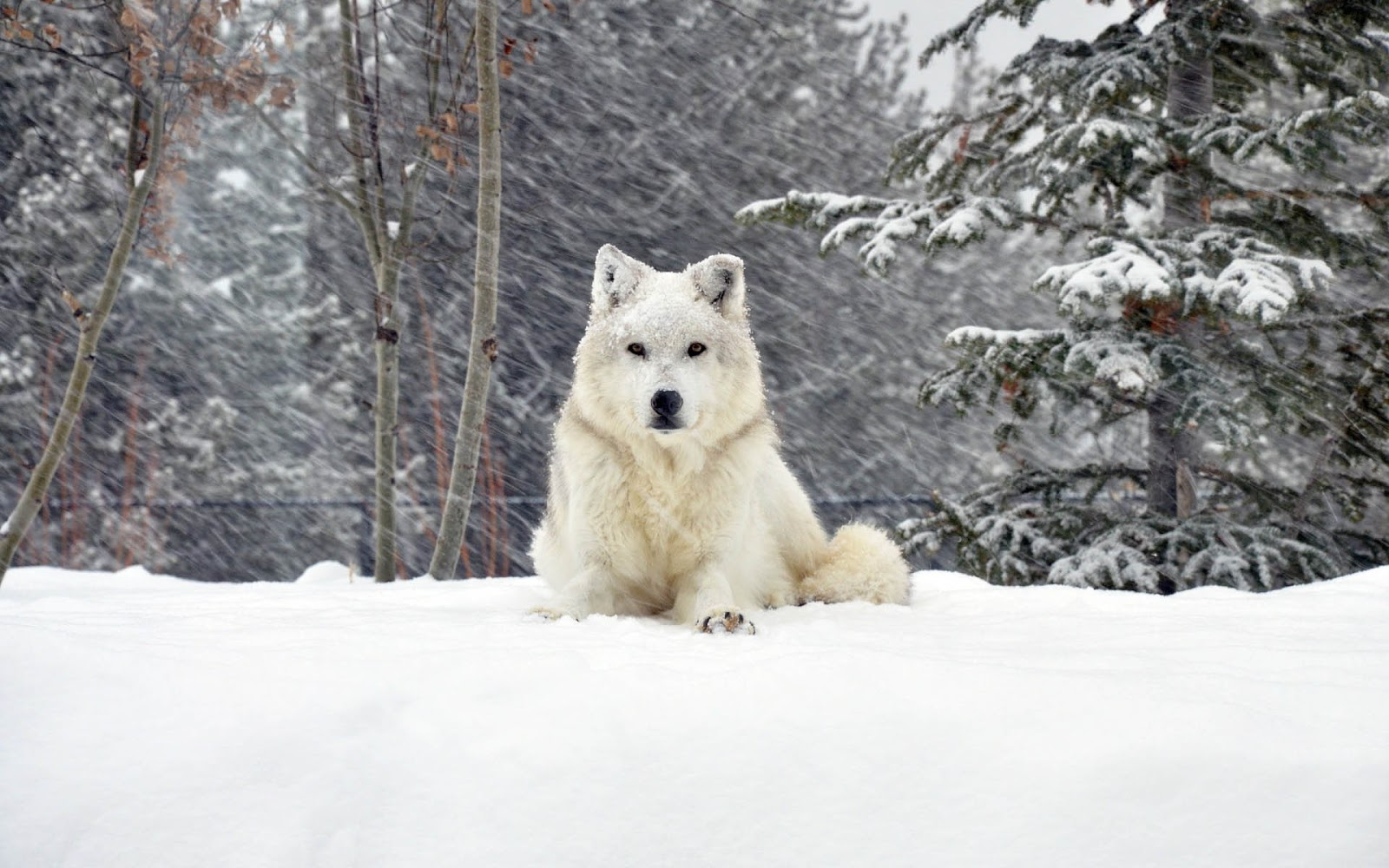 Beautiful photo of a white dog in the snow A dog wallpaper for 1600x1000
