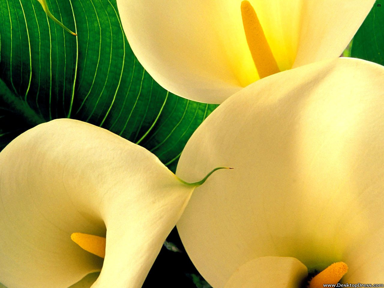 Desktop Wallpapers Flowers Backgrounds Yellow Big Lily Flower 1280x960