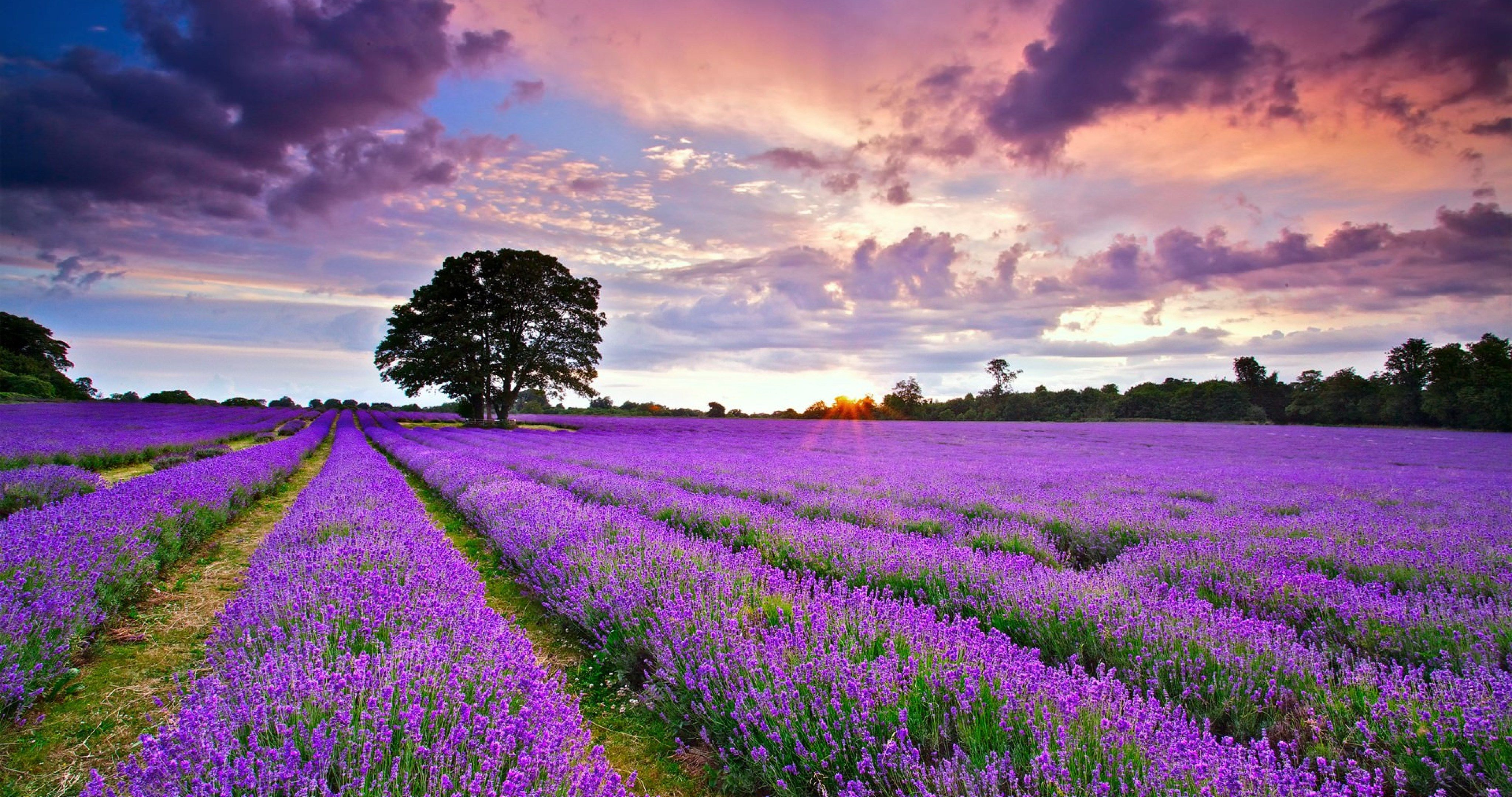 united kingdom lavender field 4k ultra hd wallpaper Wallpaper in 4096x2160