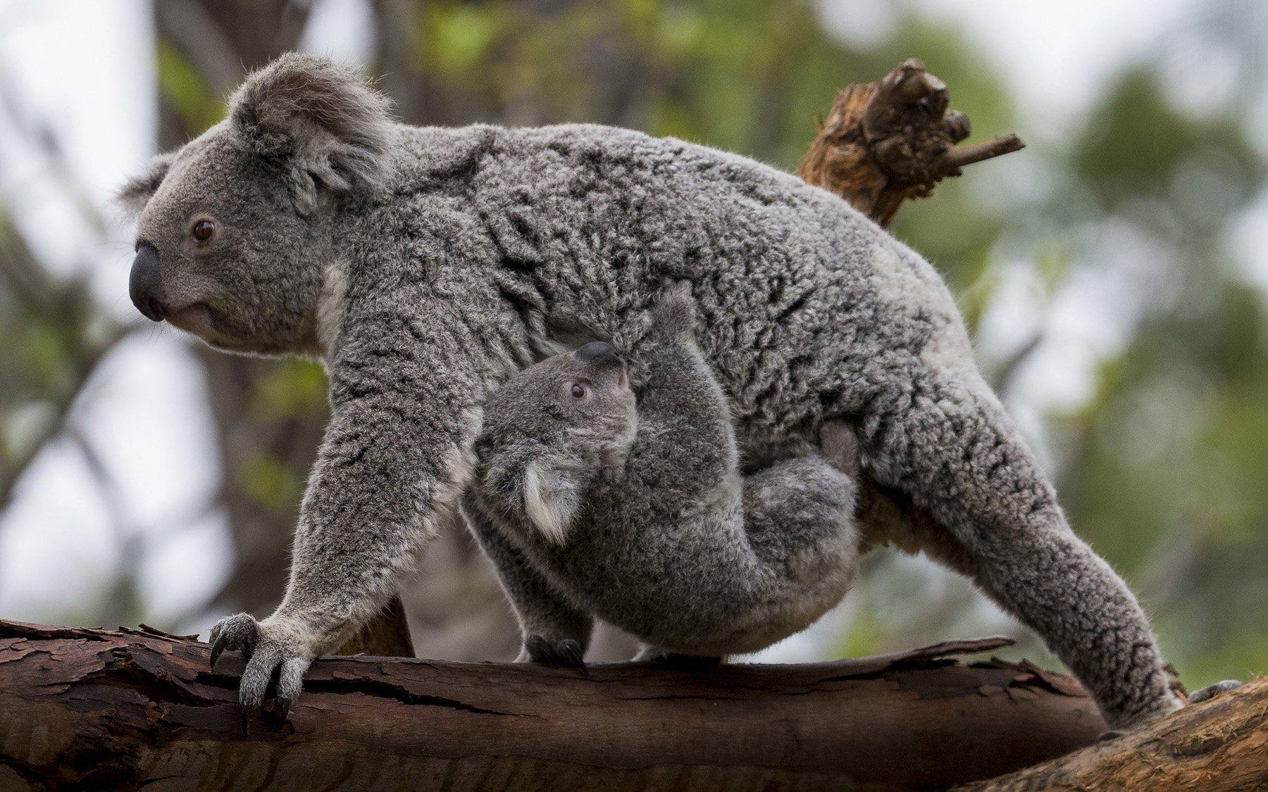 Koala baby f wallpaper 1800x1125 348860 WallpaperUP 1800x1125