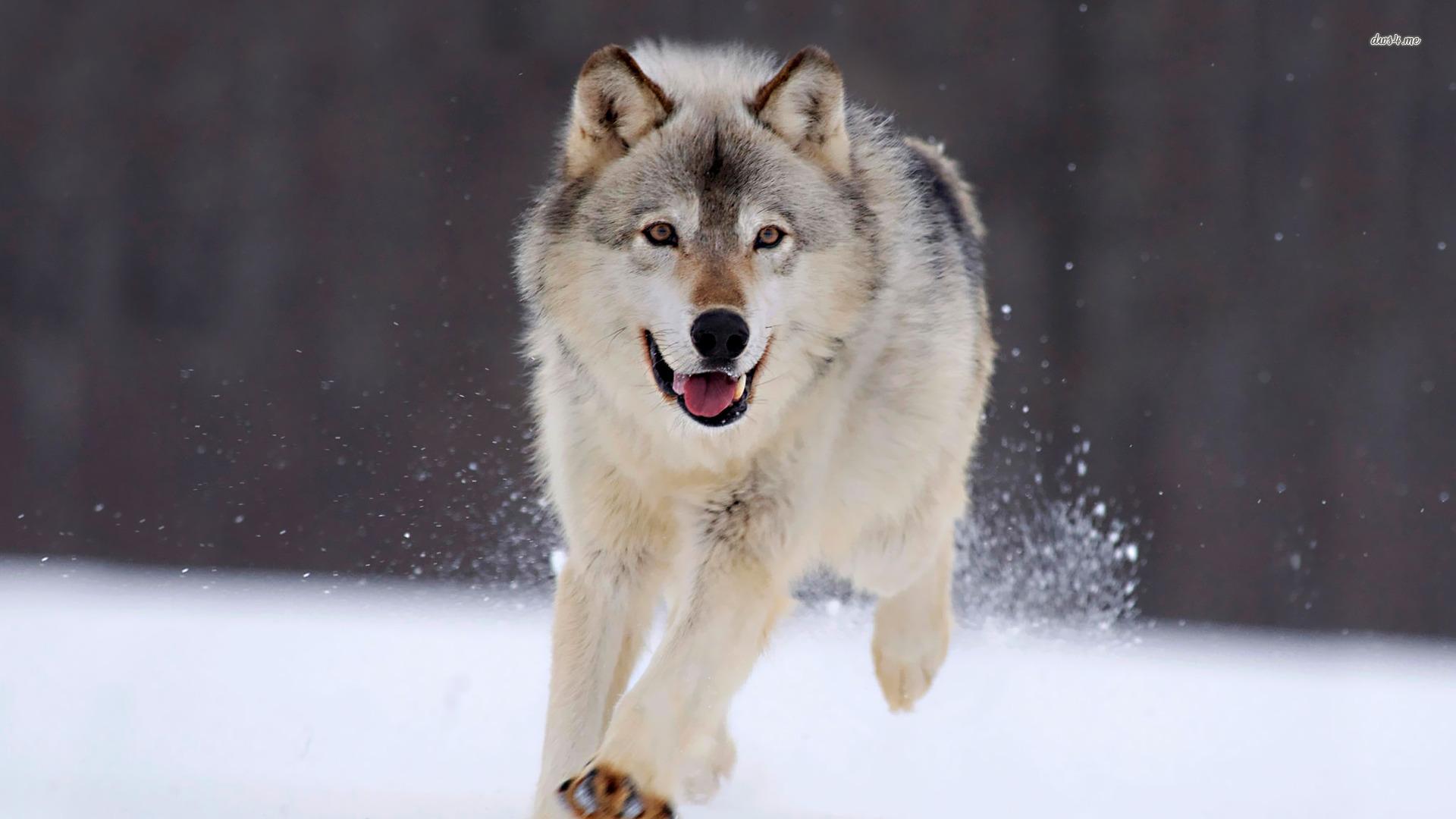 Wolf wallpaper   Animal wallpapers   3651 1920x1080