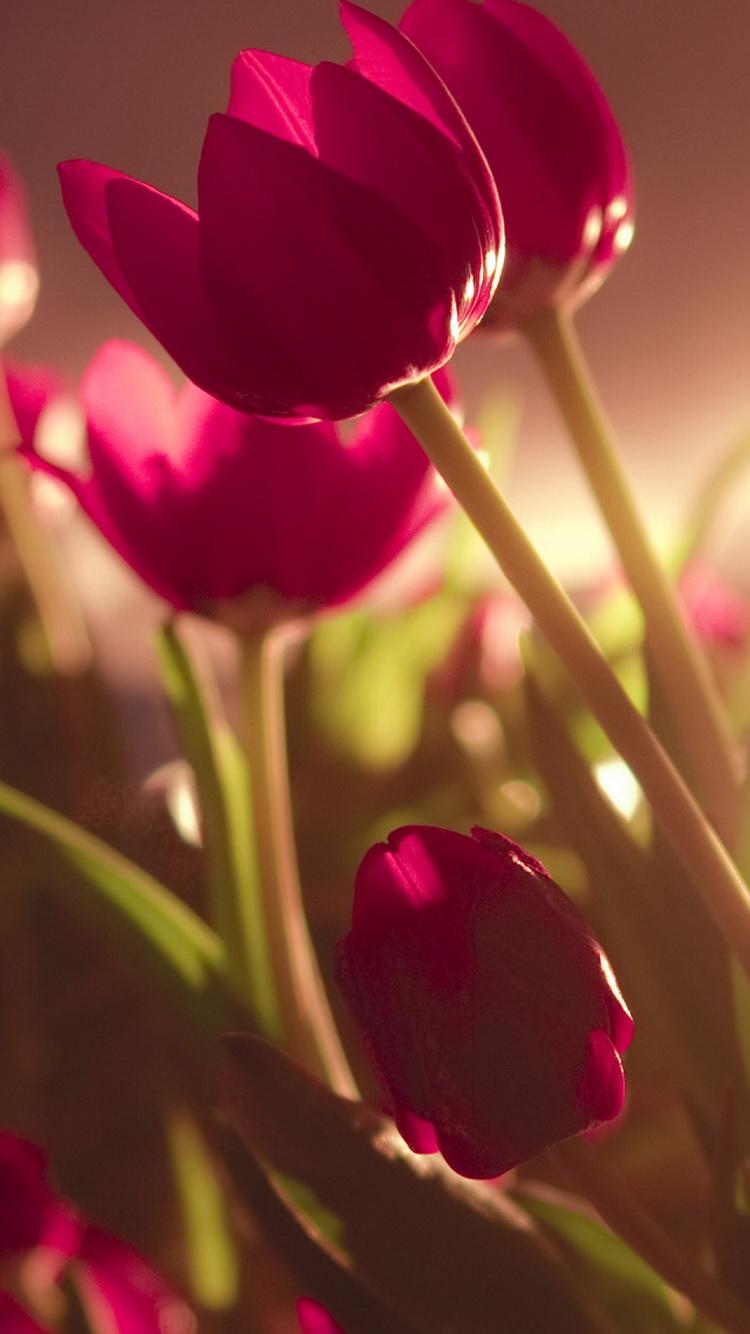 Tulips iphone 6 wallpaper iPhone 6 Wallpaper 750x1334 HD Wallpaper 750x1334