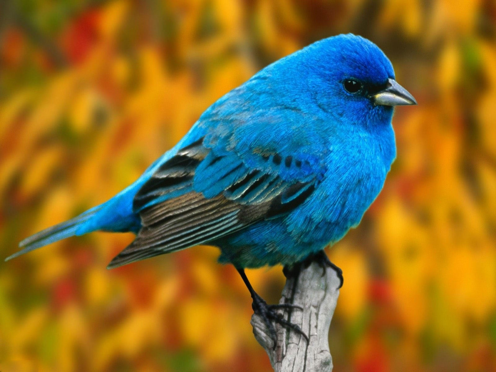 Top Bird Bluish Mobile Hd Wallpaper wallpapers55com   Best 1600x1200