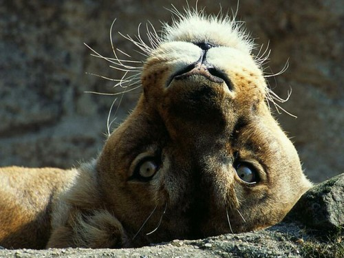 Lion screensavers and wallpaper wallpapersafari - Free funny animal screensavers ...