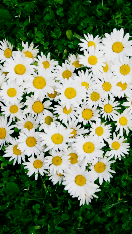 daisy flowers iphone wallpaper 423x750