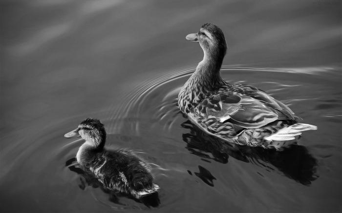 ducks bird theme desktop wallpaper 700x437