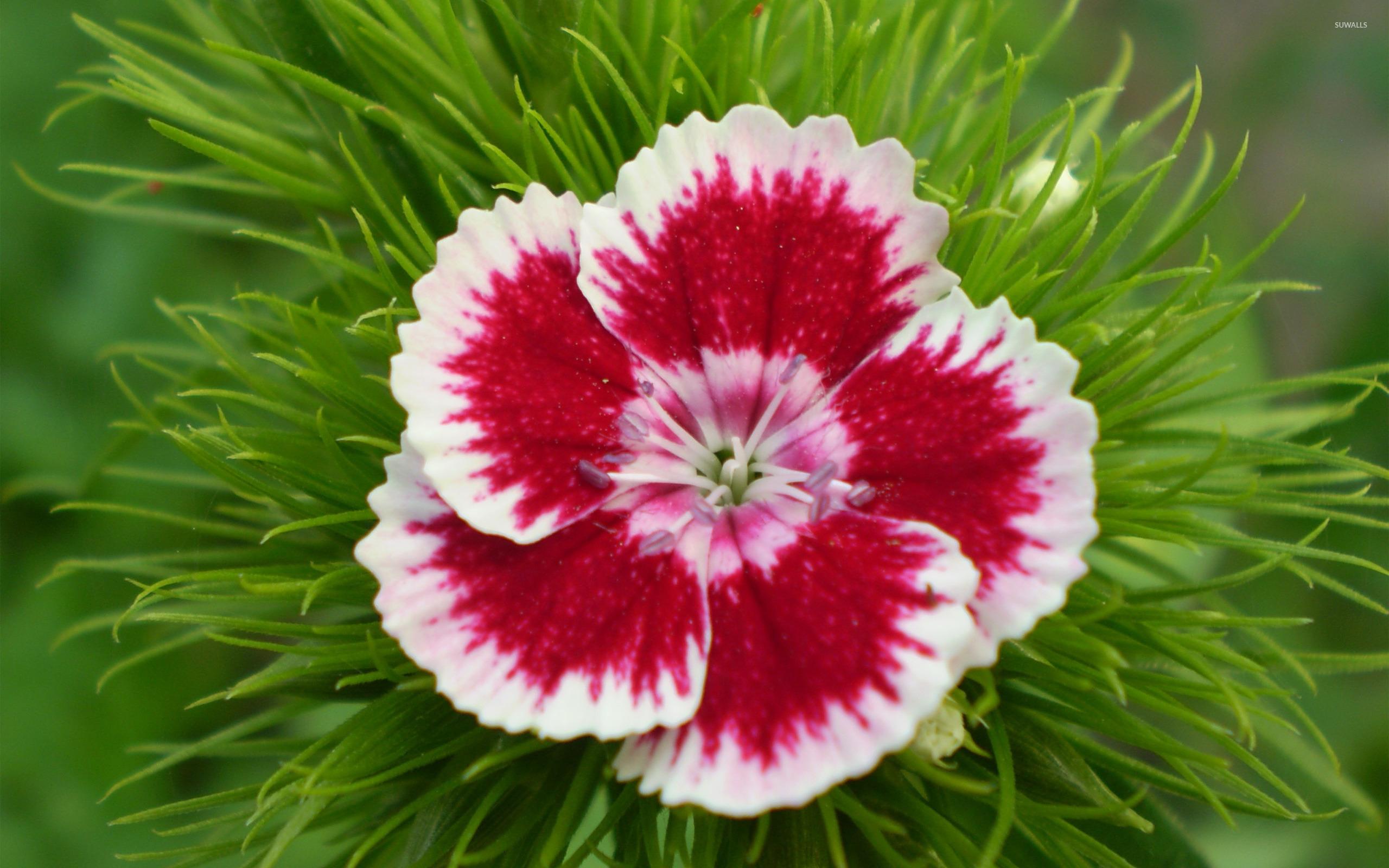 Dianthus barbatus wallpaper   Flower wallpapers   12001 2560x1600
