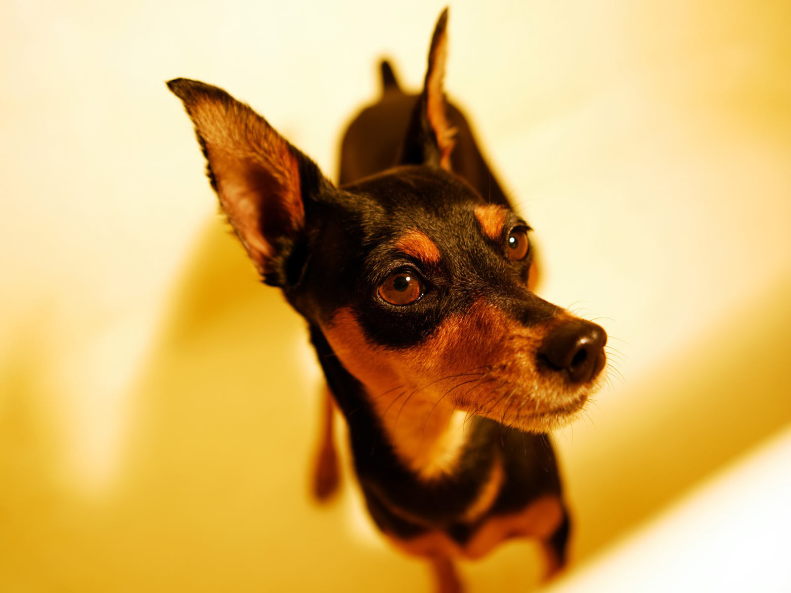 Miniature Pinscher Zwergpinscher Min Pin Background 1600x1200