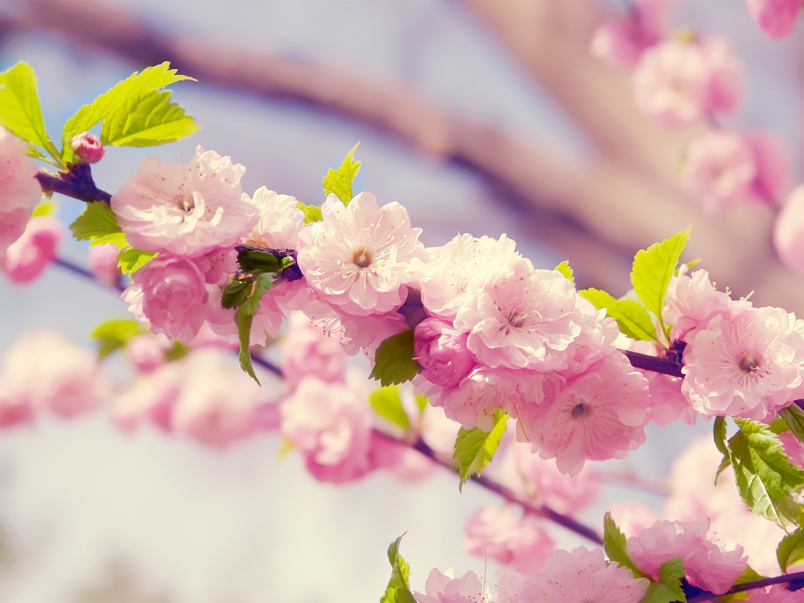 Japanese Cherry Blossom wallpapers Japanese Cherry Blossom stock 1600x1200