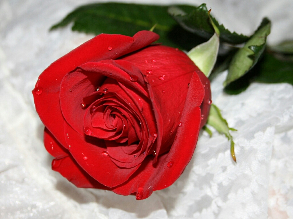 Red Rose Wallpaper hd 2013 images 1024x768