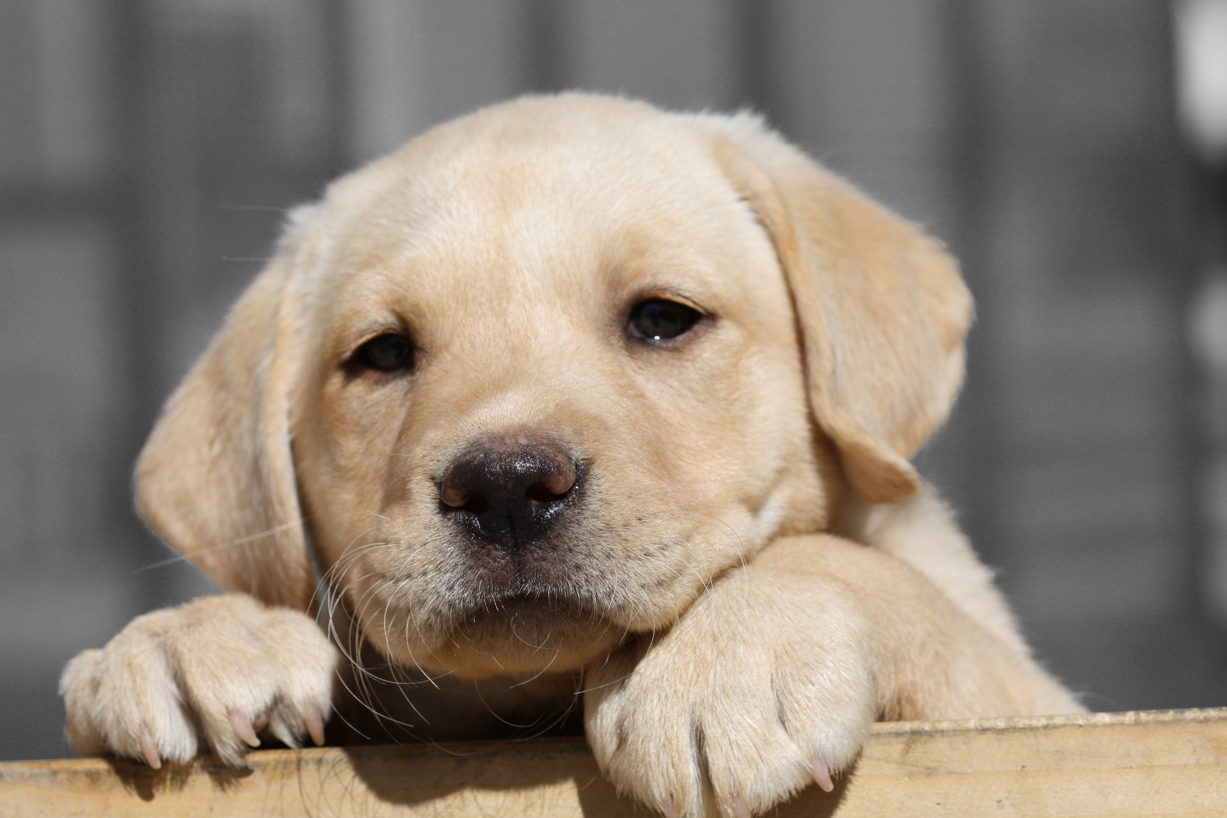Labrador Retriever Puppy HD Wallpaper Animals Wallpapers 4272x2848
