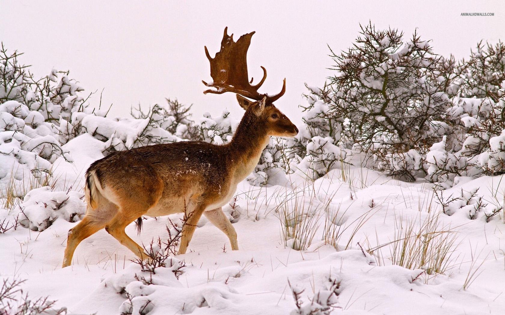 Deer Hd Wallpaper In Winter 1680x1050 pixel Nature HD Wallpaper 1680x1050