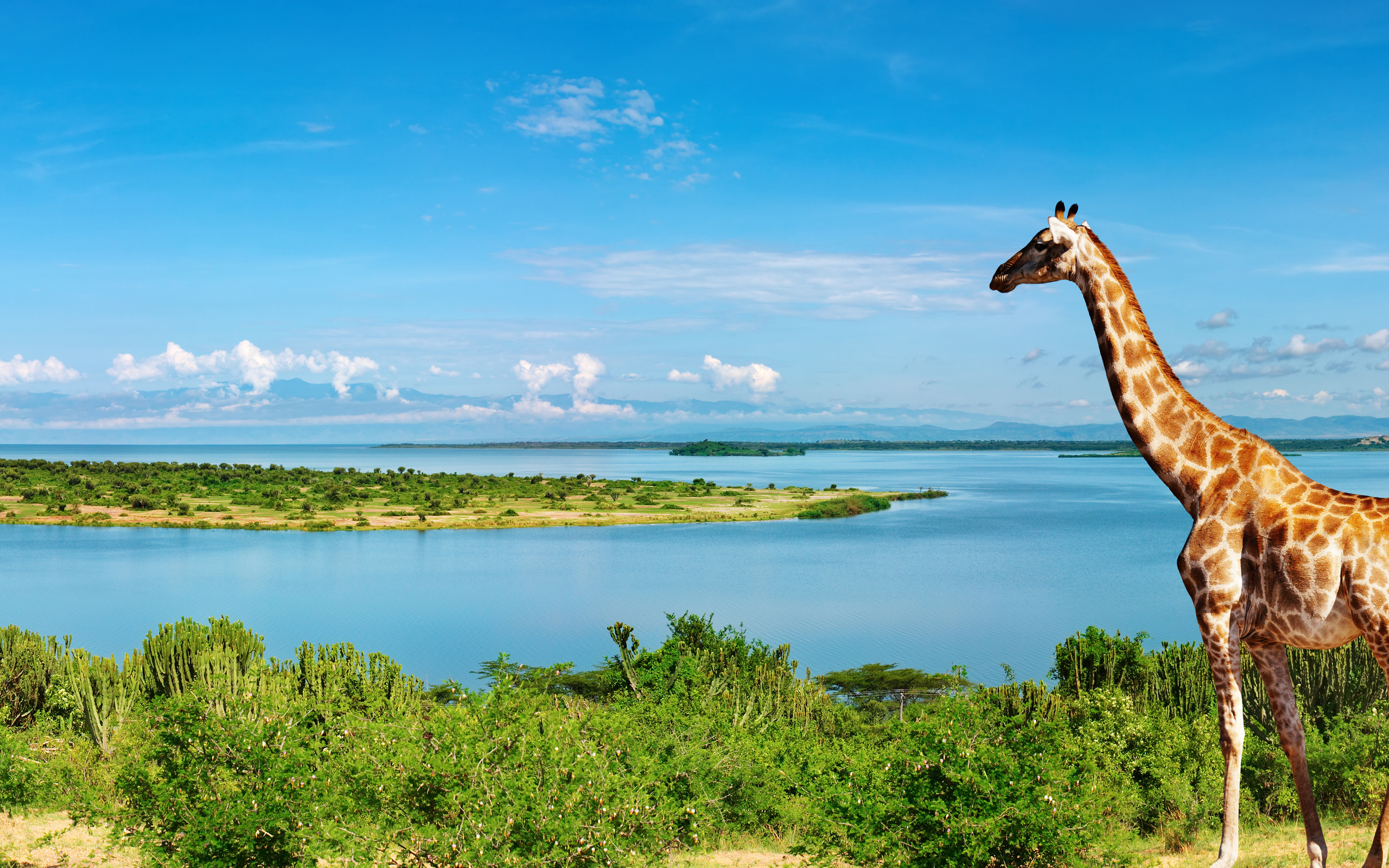 Giraffe at Nile river 4K Ultra HD wallpaper 4k WallpaperNet 2560x1600