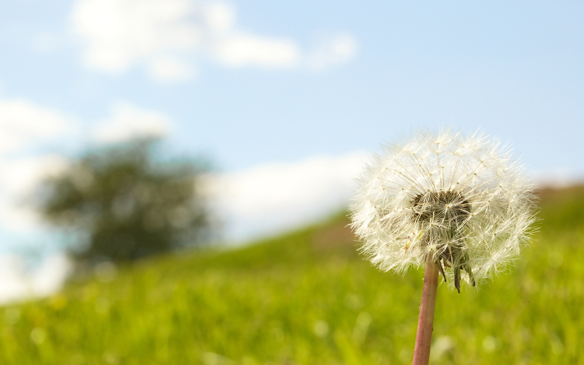 Lonely Dandelion 1920x1200 wallpaper download page 383757 1920x1200