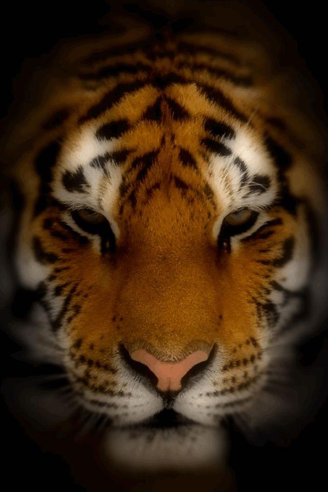 Tiger Screensavers and Wallpaper - WallpaperSafari