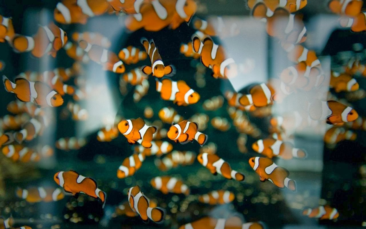 Desktop HD Wallpapers Downloads Clown Fish HD Wallpapers 1280x800