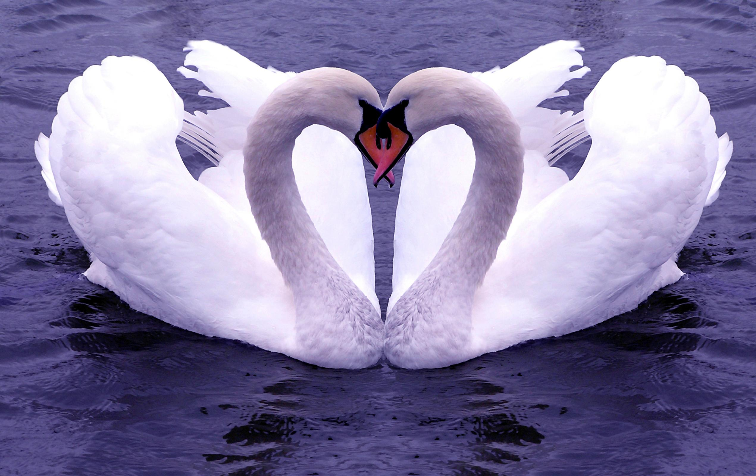 Swan Wallpapers Images and animals Swan pictures 721 2541x1600