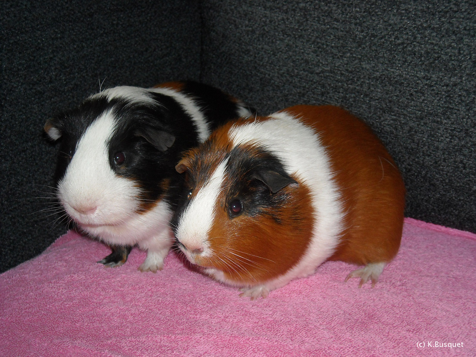 FREE HD PHOTO GALLERY HD Wallpapers of Guinea pig 1600x1200